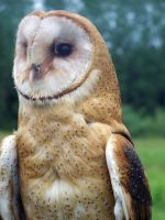 Male Barn Owl 2 by Malakhite