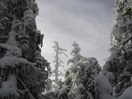 Snow's Ice on Abies balsamea in Vermont by Forest-Imp