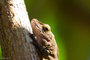 Wrinkly anole by CyclicalCore