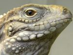 Rico the Cuban Rock Iguana by HeStoleMyName