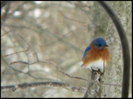 Male Eastern Bluebird III by StormPetral0509