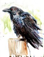 Raven Watercolor Study by justinprokowich