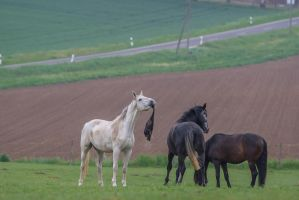 Black n White Warmblood Geldings Play on Pasture by LuDa-Stock