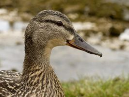 Duck by iyonix