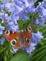 PEACOCK BUTTERFLY by iriscup