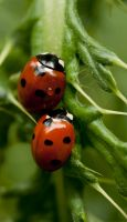 ladybug36 by GerbenT