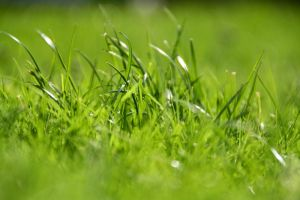 Grass by Roshila