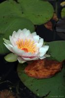 Autumn Water Lily by George---Kirk
