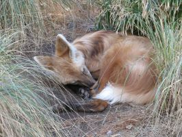 Sleeping Fox by LeraDraco69