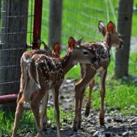 Three Whitetail fawns by masscreation