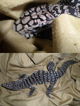 Argentine Black and White Tegu by Noxtu