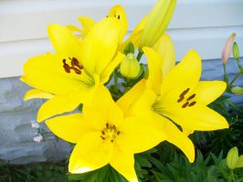 Yellow Bunch by WoodenOx