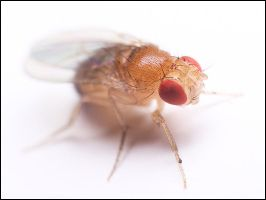 fruit fly by graemo