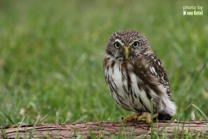 Glaucidium Brasilianum II by blizzard2006