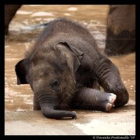 Clumsy Baby Elephant by TVD-Photography