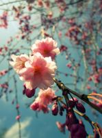 weeping cherry. by KKeiperPhotography