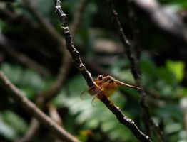 Woodlark Island Dragonfly by AfroDitee