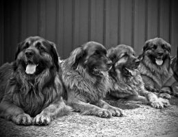 German Lion Dogs by BlonderMoment