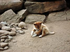 Dingo Pup by jweatherspoon