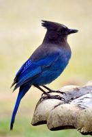 Steller's Jay by Momenti-Photo