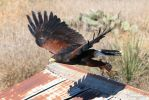 Harris Hawk by lost-nomad07