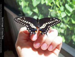 Eastren Black Swallowtail Stock by Cassy-Blue