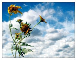 Skeletons of Sunflowers by lorrainemd