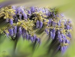 GLYCINE 2 (PRINTEMPS 2013 21) by BELLESYMPHORINE