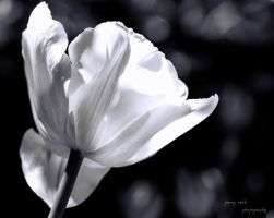 White Tulip Monochrome by Lenore49