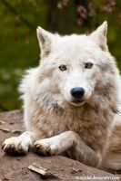Arctic Wolf by amrodel