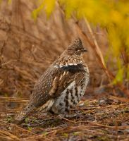 Ruffed Grouse ll by Les-Piccolo