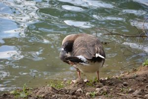Wild goose cleaning by A1Z2E3R
