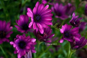 Purple African Daisies by thriftyredhead