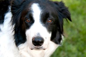 Border Collie VIII by LDFranklin