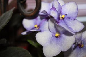 African Violets by misstaraleexo