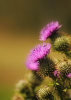 Thistles by TamarViewStudio