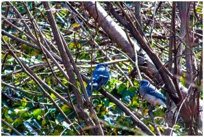 Ft Tryon Bluejay2 by emailartist26