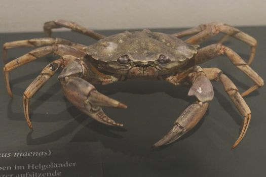 Crab Stock 01 (private use) by Malleni-Stock