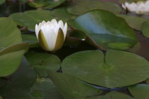 Water lily Stock 03 by Malleni-Stock