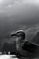 Birds of a Coastal Town - See Gull by DayOfTheBaphomets