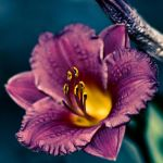 Complimentary flower by shegs1204