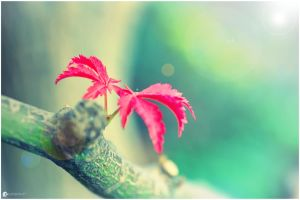 Red Leaf - Chinese Acer by strehlistisch