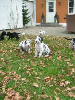 Great dane puppies by AngeliCafarelli