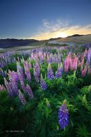 Lupin Delight II by chrisgin