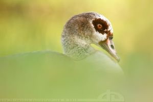 Egyptian Goose Portrait by thrumyeye