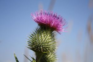 Thistle by Cia81