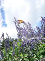 Butterfly on purple flowers by greyrowan