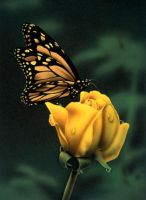 Butterfly on Rose by denismayerjr