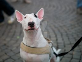 A Little Pink Bull Terrier by ideogibs