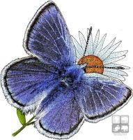Mission Blue Butterfly by rogerdhall